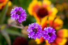 Delicate Purples