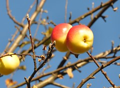 Vergessene pfel -  apples in November (Mariandl48) Tags: november blue sky branches himmel crown apples ste blauer prinz pfel kronprinz