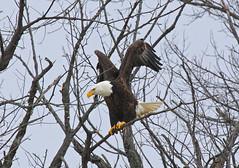 Eagle 11 (HeadPhotography) Tags: canon eagle baldeagle bald iowa mississippiriver canon100400l 50d leclaire canon50d lockanddam14 lockdam14