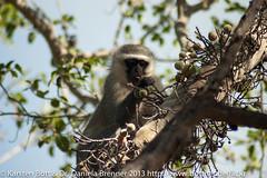 "Vervet Monkey • <a style=""font-size:0.8em;"" href=""http://www.flickr.com/photos/56545707@N05/8364361005/"" target=""_blank"">View on Flickr</a>"