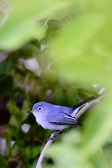Blue-Gray Gnatcatcher (Tommy Bass) Tags: birds nikon florida keywest floridakeys southflorida bluegraygnatcatcher thekeys nikkor70300mm nikond7000