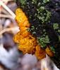 Witch's Butter (Dendroica cerulea) Tags: winter orange forest newjersey woods nj fungi fungus basidiomycota tremellamesenterica witchsbutter tremella jellyfungus camdencounty witchesbutter tremellaceae tremellales haddontownship yellowbrain agaricomycotina goldenjellyfungus saddlerswoods tremellomycetes yellowtrembler nativeplantsocietyofnewjersey