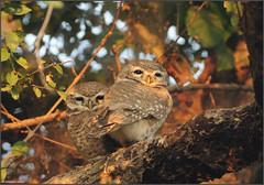 Spotted Owlet (....Nishant Shah....) Tags: india bird nature birds nikon wildlife pair owl rajasthan bharatpur 300mmf28 owlet keoladeo spottedowlet athenebrama tc17 nikond90 kgnp