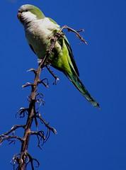 Monk Parakeet (Myiopsitta monachus) (ThatTennisBirder94) Tags: world blue sky nature birds animal animals natural birding monk aves parakeet birdwatching birdphotography