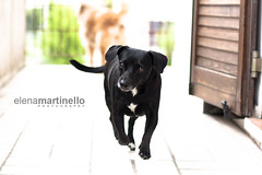 Maya running (Elena Martinello) Tags: dog black blur maya rannung gettyimagesitalyq1 gettyimagesitalyq2 gettyimagesitalyq3