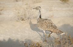 القلايل ٢٥-١-٢٠١٣ (القلايــل) Tags: الامارات الكويت البحرين عمان المقناص قطر السعودية طيور شاهين حر فرخ قنص قرناس القلايل