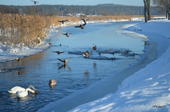 in blue (***Kate***) Tags: winter snow cold water birds river duck frosty swans