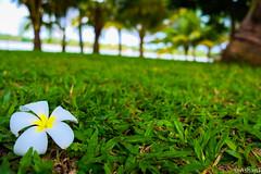 Saturated Araliya (Ashan T) Tags: flower garden srilanka araliya fujixe1 ashanthuduwewatte