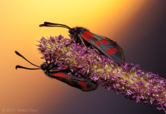 """Zero gravity"" Zygaena filipendulae (Serkiz Oleg) Tags: light sunset red macro cute art nature colors beauty closeup bug insect bright fine ukraine lepidoptera softbox macrophotography zygaenafilipendulae bukovina chernivtsi nikond80 sigma150mmf28apomacro olegserkiz"
