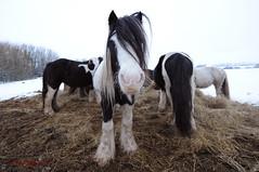 Gipsy Ponies (Tony Margiocchi (Snapperz)) Tags: snow cold freezing ponies tonymargiocchi gipsyponies