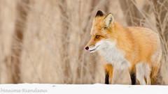 DSC_8217 (Maxime Riendeau) Tags: winter snow canada quebec hiver qubec fox neige redfox renard renardroux maximeriendeau