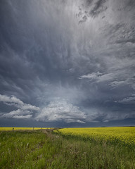 Yellow Dressed Summer (Ryan Wunsch) Tags: canola alberta canada thunderstorm stormchasing stormchaser