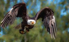 Weikopfseeadler im Flug (Delbrckerin) Tags: adler eagle weiskopfseeadler vogel greifvogel bird tier animal nikond90 sigma150600mm