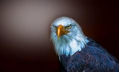 Eagle Portrait (Delbrücker) Tags: eagle adler animal tier bird vogel outdoor nature natur nikond610 nikkor 70200mm 28