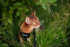 Soft meadow (DizzieMizzieLizzie) Tags: abyssinian aby beautiful wonderful lizzie dizziemizzielizzie portrait siesta cat chats feline gato gatto katt katze katzen kot meow mirrorless pisica sony a6000 soft meadow