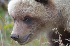 close cub_IMG_4605 (bud_marschner) Tags: denalinationalpark brownbear grizzlybear alaska