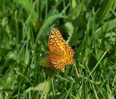 Variegated Fritillary (Euptoieta claudia) (Nature In a Snap) Tags: crosswicks creek greenway province line road access plumstead township 2016 nature wildlife variegated fritillary euptoieta claudia butterfly butterflying butterflier lepidoptera winged nj new jersey