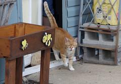Ziggy Cat - Hello 8-14-16 (anothertom) Tags: cats ziggycat happycat meow hello greeting sonyrx100ii