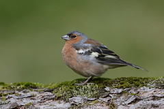 Chaffinch male (Hammerchewer) Tags: chaffinch bird male wildlife outdoor