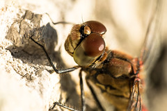 Compound eyes (jarnasen) Tags: nikon d810 sigma105mmf28 macro freehand handheld closeup raynox250 dcr250 dragonfly insect eyes sweden sverige stergtland copyright jrnsen jarnasen nature hairy dof
