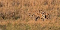 Bandhavgarh 036 (Black Stallion Photography) Tags: bengal tigress female bigcat carnivore wildlife india bandhavgarh grass brown stripes orange white cub black stallion photography igallopfree