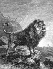1890 THE LION PROJECT: Barbary Lion EXTINCT in the Wild, aka the Atlas Lion or Nubian Lion (Panthera Leo Leo) original Engraving Artist Carl Gottlob Specht / Emil Scherzler Germany, Antique print from OUR LIVING WORLD by Holder & Wood (Kroone's Art Gallery) Tags: the lion project barbary extinct known atlas or nubian panthera leo original antique print by joseph bassett holder 18241888 editor john george wood 1827 1889 author animate creation from edition our living world natural history kroonegallery engraving artist carl gottlob specht emil scherzler germany alfred edward 1890