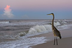 Enjoying the Sunrise (022612) (Mike S Perkins) Tags: greatblueheron heron gulfofmexico gulfcoast sunrise blue red orange waves tropicalstorm hermine sand ftmorgan alabama shore gulfshores