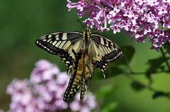Schwalbenschwanz (Aah-Yeah) Tags: schwalbenschwanz swallowtail papilio machaon schmetterling butterfly tagfalter marquartstein achental chiemgau bayern paarung