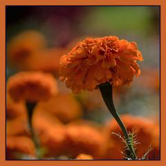 Broncos Orange (Seen on Explore) (Jmarie999) Tags: odc