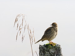 Meadow Pipit (themadbirdlady) Tags: meadowpipit passeriformes motacillidae anthuspratensis sheriffmuirinnnn8202 bird post light grass