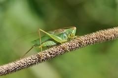 katydid (ladybugdiscovery) Tags: katydid insect green meadow noisy macro dof bokeh