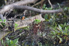Just sitting there (skees499 ) Tags: ijsvogel kingfisher keesmolenaar biesbosch zuidholland nikon d500 alcedoatthis vogel birding natuur nederland