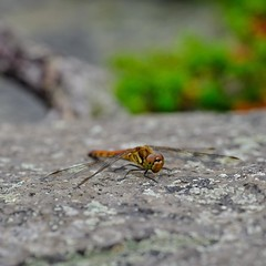 Pretty fly for a dragonfly. #travel #Hokkaido #Japan