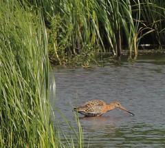 Black-tailed Godwit (Turtlerangler) Tags: godwit bird leightonmoss cumbria uk