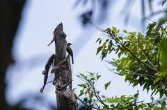 philippine bulbul (arcibald) Tags: sembrano pililla rizal philippines hypsipetesphilippinus philippinebulbul bulbul bird birds aves