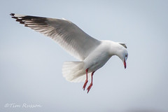 IMG_7002 (timrusson) Tags: silvergull