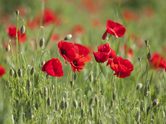 Danseuses champtres (Titole) Tags: poppies many buds nicolefaton titole green red