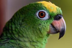 Amazona ochrocephala - Lora cabeciamarilla - Yellow-crowned Parrot (Fredy Gmez Suescn) Tags: amazonaochrocephala lamacarena loracabeciamarilla meta ro yellowcrownedparrot caocristales