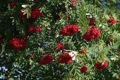 Pihlakad (Jaan Keinaste) Tags: pentax k3 pentaxk3 eesti estonia loodus nature pihlakas mari marjakobar rovan sorbus punane red