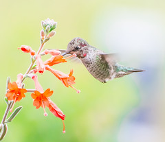 Nice to see you Anna. (Omygodtom) Tags: friend lens bokeh bird animalplanet anashummingbird flower flickr nikon70300mmvrlens nature nikon d7100 outdoors park portrait action bright branch tamron