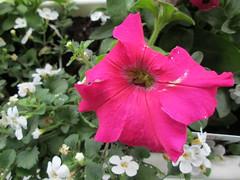 Petunia fuchia (chanelchat Rachel) Tags: flowers canon balcony petunia beautifulflowers weloveallflowers petuniafuchia chanelchat thebestofweloveflowers