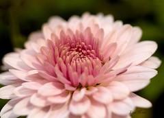 PA149690 copy (LisaNC) Tags: flower mushroom yard 50mm e500