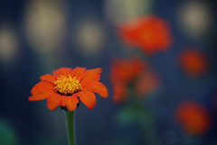 Orange Zinnia (j man ) Tags: life lighting new flowers friends light orange flower color macro art texture nature floral colors beautiful closeup lens photography petals illinois cool flickr dof blossom bokeh pov background sony details favorites blurred 11 depthoffield pointofview sp ii views di if salem f2 zinnia minimalism tamron rule comments ld thirds jman a300 af60mm mygearandme flickrbronzetrophygroup