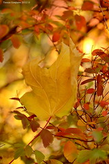 Caught in the Fall (Photography Through Tania's Eyes) Tags: autumn canada nature leaves photography photo leaf flora nikon photographer bc image britishcolumbia okanagan photograph fallen mapleleaf caught okanaganvalley peachland copyrightimage hardyfallsregionalpark nikond7000 taniasimpson