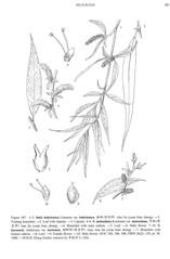 Salix babylonica v. babylonica, line drawing (filibot.web) Tags: plants asia philippines botany specimens salix babylonica salicaceae taxonomy:binomial=salixbabylonica filibot