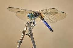 Blue Dasher Dragonfly, Fairchild Tropical Botanic Garden. (pedro lastra) Tags: usa macro nature up garden nikon close florida dragonfly libelula tropical libelle odonata d600