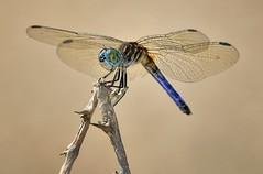 Blue Dasher Dragonfly, Fairchild Tropical Botanic Garden. (pedro lastra) Tags: usa macro nature up garden nikon close florida dragonfly libelula tropical libelle odonata d600