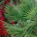 Palmier : automne        _PA200502+