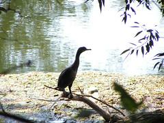 PICT4303 (ebvbaer) Tags: tiere kormoran vgel lhne