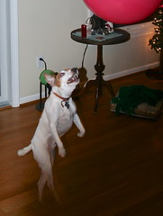 Toothy (marylea) Tags: christmas dog walking fun jumping jrt seamus jackrussell toothy 2010 flyingdog dec25 bouncyball parsonrussell